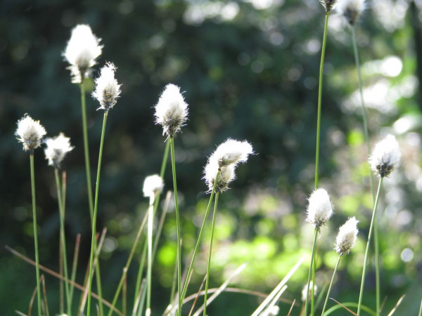 Scheidiges Wollgras | Eriophorum vaginatum