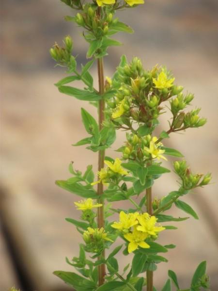 Geflügeltes Johanniskraut | Hypericum tetrapterum