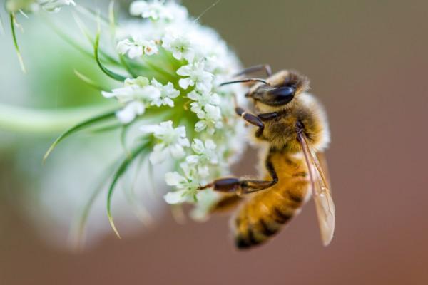 Dachbegrünung als Bienenweide