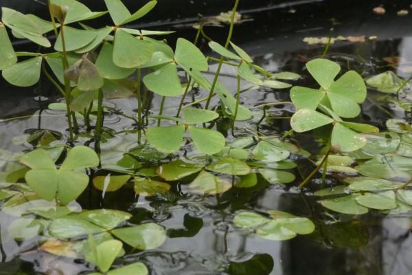 Kleefarn | Marsilea quadrifolia