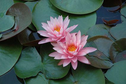 Seerose Rose Arey