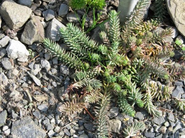 Sedum rupestre | Felsen-Mauerpfeffer