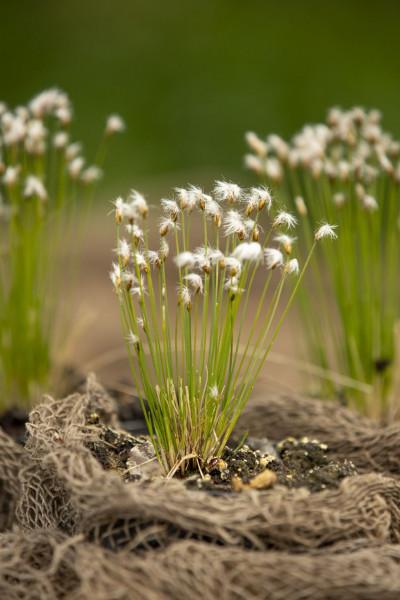 Alpenhaargras   Trichophorum alpinum