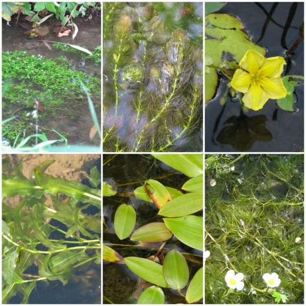 Unterwasserpflanzen Sortiment für Angelteiche