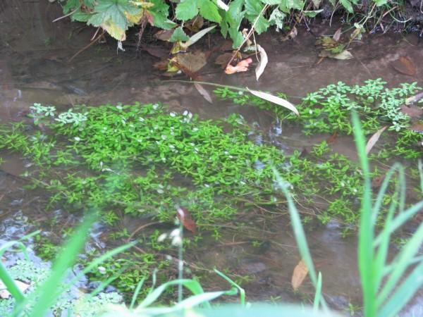 Wasserstern | Callitriche palustris