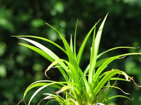 Riesen Segge | Carex pendula