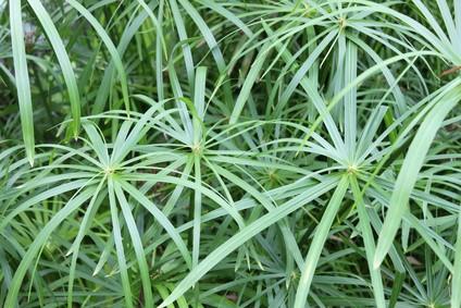Cyperngras | Cyperus longus