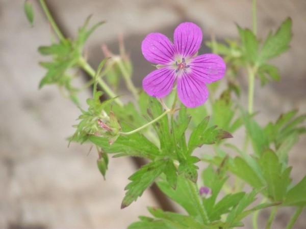 Sumpfstorchenschnabel | Geranium palustre