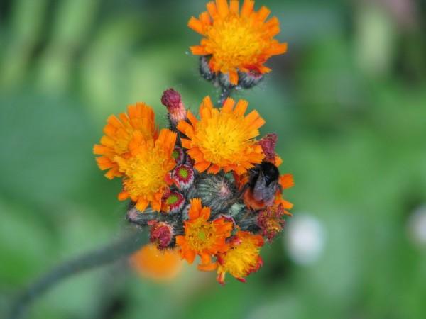 Orangenes Habichtskraut | Hieracium aurantiacum