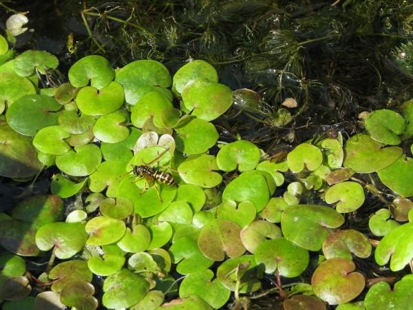 Froschbiss | Hydrocharis morsus-ranae