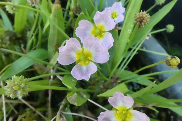 Igelschlauch | Baldellia ranunculoides