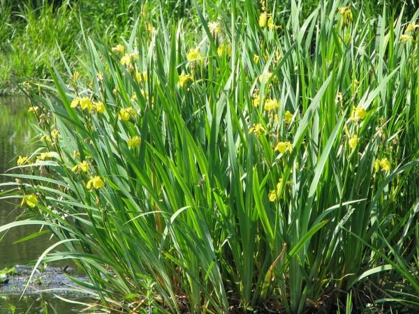 Wasserschwertlilie | Iris pseudacorus