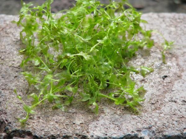 Dreifurchige Wasserlinse | Lemna trisulca