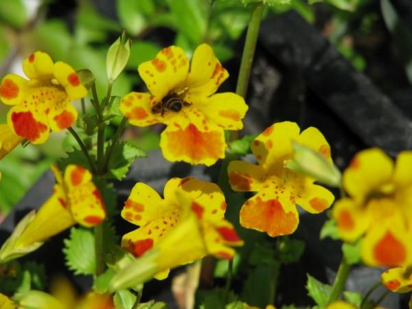 "Getigerte Gauklerblume | Mimulus tigrinus ""Major Bees"""