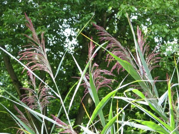 Schilf | Phragmites australis
