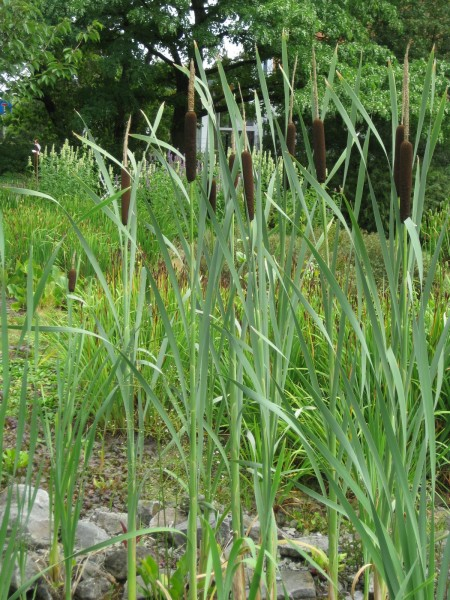 Schmalblättriger Rohrkolben | Typha angustifolia