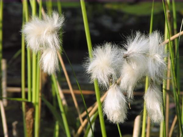 Schmalblättrige Wollgras | Eriophorum angustifolium