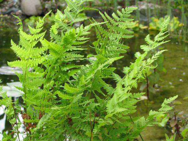 Sumpffarn | Thelypteris palustris