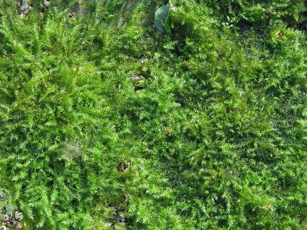Ufermoos | Leptodictyum riparium