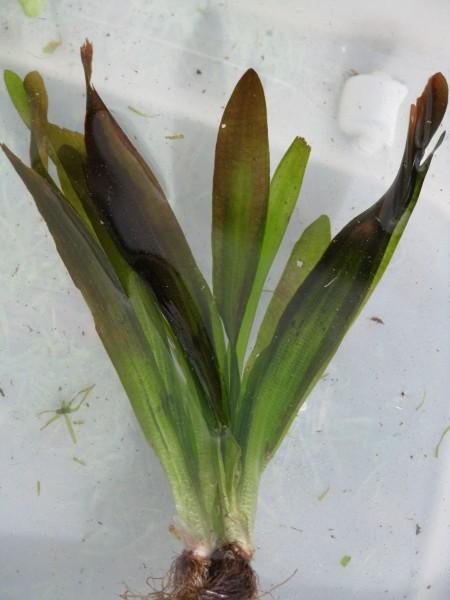 Riesen Sumpfschraube | Vallisneria gigantea