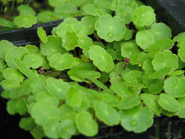 Wassernabel | Hydrocotyle vulgaris